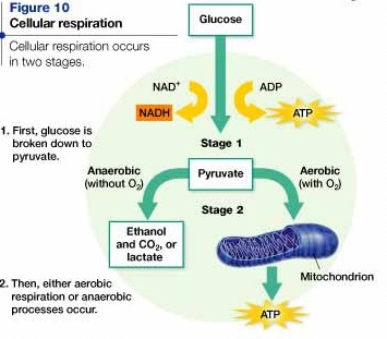 Masterman2013 cellular respiration cellular respiration page history last edited by ccuart Choice Image